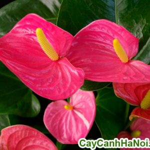 cây tiểu hồng môn